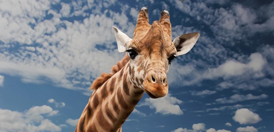 La CNV : le langage de la girafe