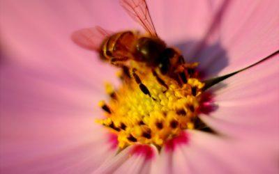 Soyez une abeille – Osho